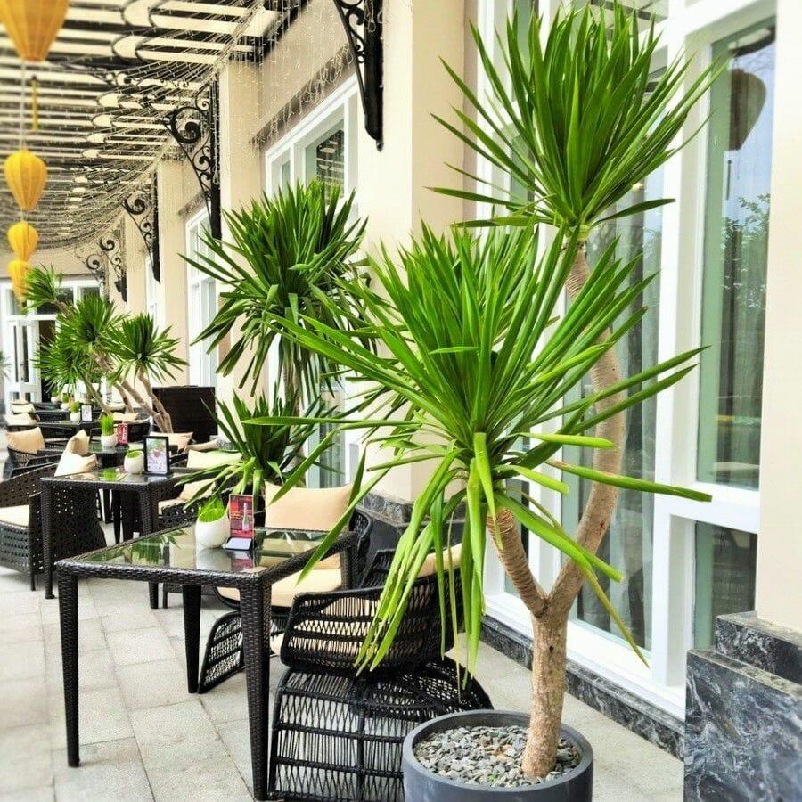 Bạn cũng có thể bắt gặp cây Phát Tài Núi được sử dụng để trang trí cho những quán cà phê sân vườn.