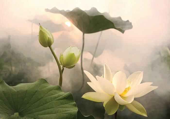 7 dòng tranh hoa sen đẹp, ý nghĩa