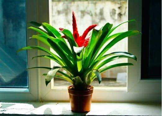 Với đặc tính ưa ánh sáng nhẹ, cây Phong Lộc Hoa có thể được đặt ở thành cửa sổ để mang lại phong thủy tốt cho gia chủ.