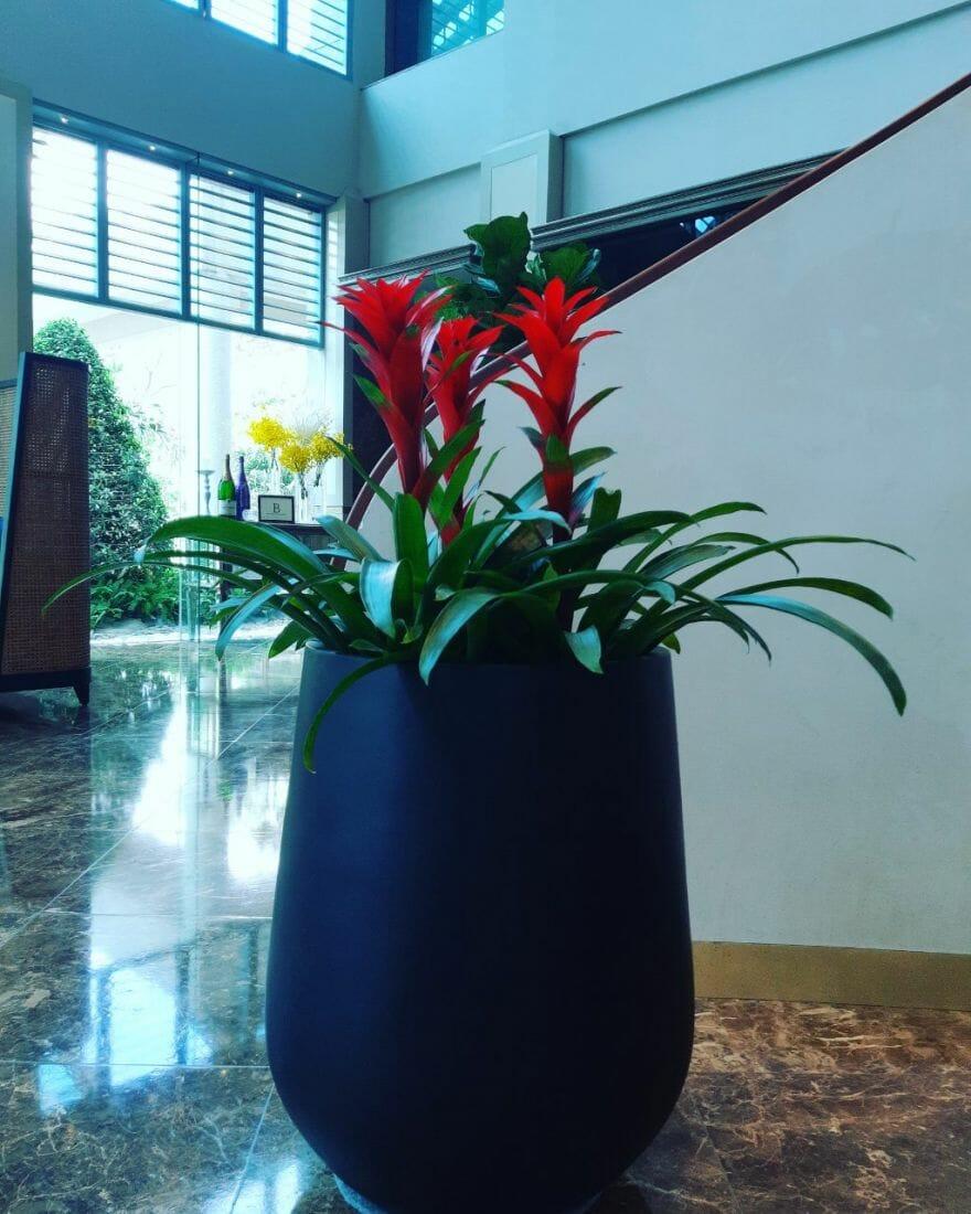 Cây được trồng trong chậu lớn đặt ở môi trường văn phòng làm việc hoặc để trên bàn giúp mang lại may mắn, tiền tài đến cho gia chủ.