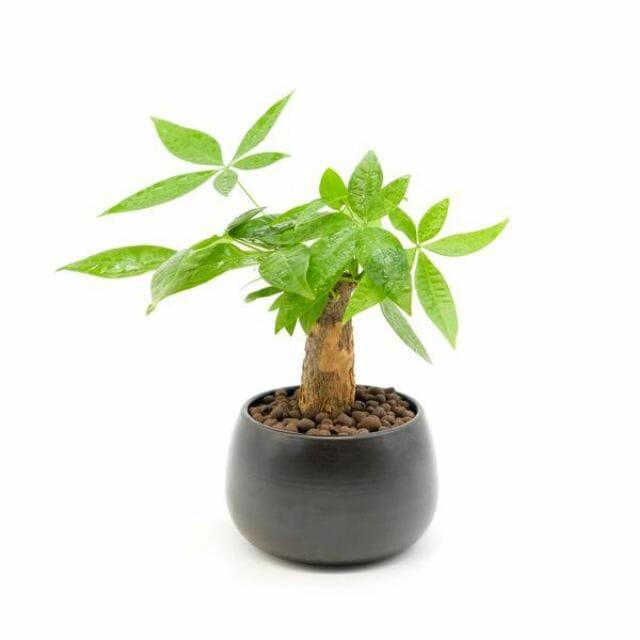 mệnh chiêu mộc hợp cây gì?