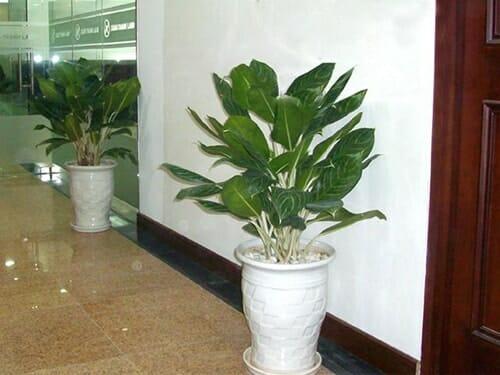 Cây cũng được sử dụng để trang trí dọc hành lang, lối đi của các văn phòng công ty, tòa nhà chung cư.