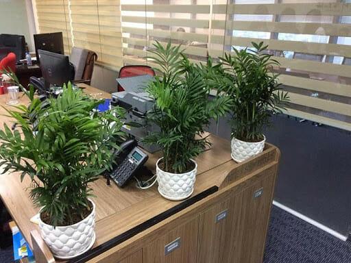 Cây cau tiểu trâm giúp thanh lọc không khí môi trường công sở.