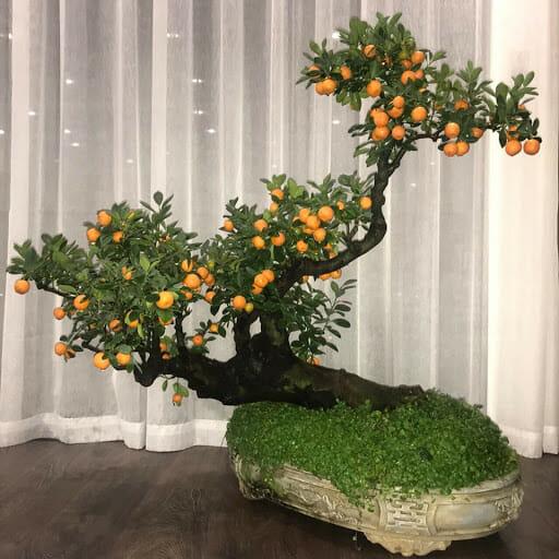 Thế cây quất độc, lạ được trưng bày ở phòng khách ngày Tết