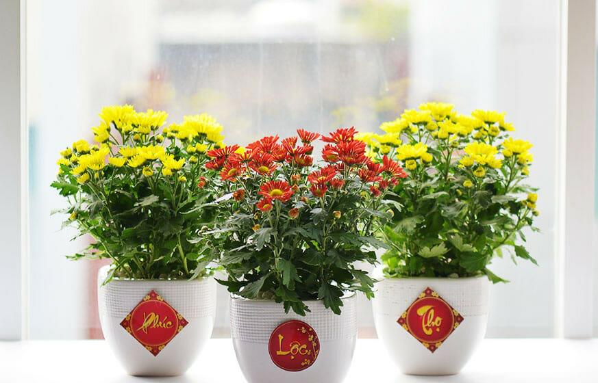 Những lưu ý khi trưng hoa cúc ngày Tết
