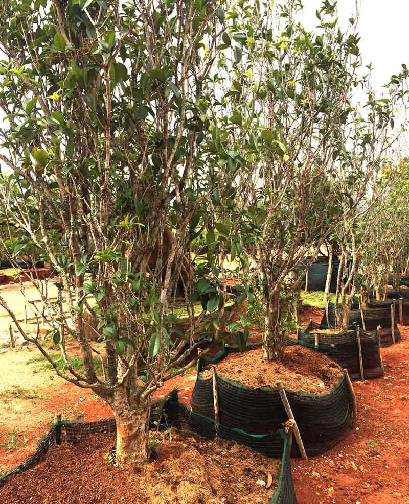 Ý nghĩa Feng Shui của cây chiêu tậpc hương
